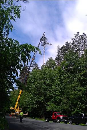Image of crane removing red pines